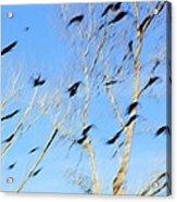 Flocking Crows Acrylic Print