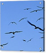Flocking Frigatebirds Riding Acrylic Print