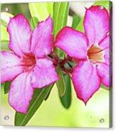 Floral Background. Desert Rose. Acrylic Print