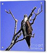 Florida Osprey Acrylic Print