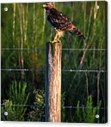 Florida Red-shouldered Hawk Acrylic Print by Ronald T Williams