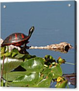 Florida Redbelly Turtle Acrylic Print