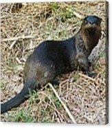 Florida River Otter Acrylic Print by Lynda Dawson-Youngclaus
