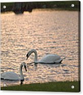 Florida Swans Acrylic Print