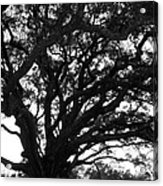 Florida Tree Acrylic Print