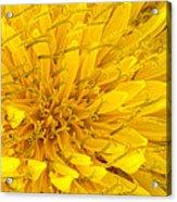 Flower - Dandelion Acrylic Print