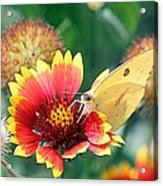 Flower Butterfly Acrylic Print