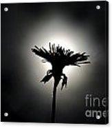 Flower In Backlight Acrylic Print