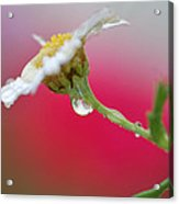 Flower In Red Acrylic Print