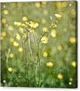 Flower Of A Buttercup In A Sea Of Yellow Flowers Acrylic Print