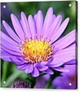 flower of September Acrylic Print