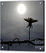 Flower On The Fence Acrylic Print