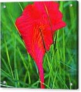 Flower Petal And Grass- St Lucia Acrylic Print