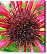 Flower Pink Acrylic Print