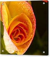 Flower Rieger Begonia 5 Acrylic Print
