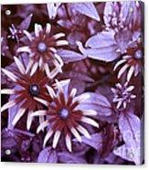 Flower Rudbeckia Fulgida In Uv Light Acrylic Print by Ted Kinsman