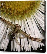Flower Spider On Fleabane Acrylic Print