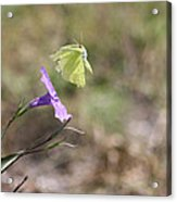 Flower Which Did Sway The Butterfly Flew Away Acrylic Print
