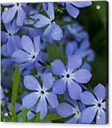 Flower Wild Blue Phlox 1 B Acrylic Print