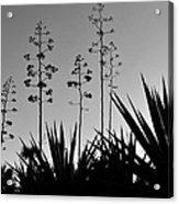 Flowering Agaves Acrylic Print