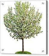 Flowering Apple Tree Acrylic Print