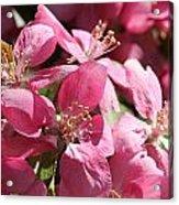 Flowering Crabapple In Bloom Acrylic Print by Mark J Seefeldt