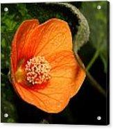 Flowering Maple Singe Flower Acrylic Print