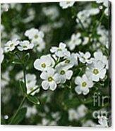 Flowering Spurge Acrylic Print