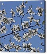 Flowering White Dogwood Acrylic Print