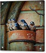 Flowerpot Swallows Acrylic Print by Jai Johnson
