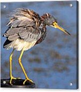 Fluffy Tri Colored Heron Acrylic Print