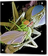 Fly Eating Another Fly, Sem Acrylic Print by Volker Steger