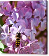 Fly In The Lilacs Acrylic Print