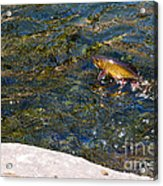 Flying Brook Trout Acrylic Print