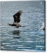 Flying Cormorant Bird Acrylic Print by Mats Silvan