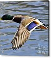 Flying Duck Acrylic Print