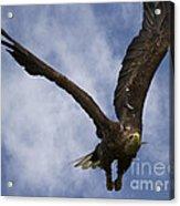 Flying European Sea Eagle I Acrylic Print