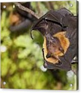 Flying Foxes Acrylic Print by Anek Suwannaphoom