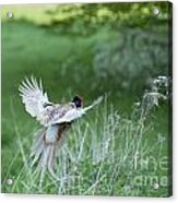 Flying Pheasant Acrylic Print