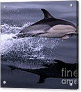 Flying Porpoise Acrylic Print