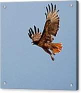 Flying Red Tail 204-2 Acrylic Print
