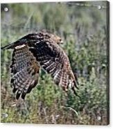 Flying Redtail Hawk  Acrylic Print
