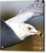 Flying Seagull Closeup Acrylic Print