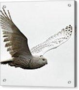 Flying Snowy Owl Acrylic Print