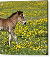 Foal In Field Acrylic Print by Conny Sjostrom