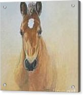 Foal Study Acrylic Print