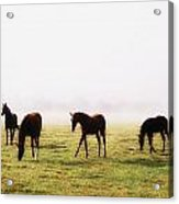 Foals With A Mist Behind Them Acrylic Print