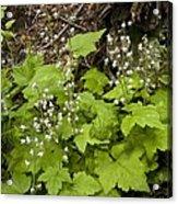 Foamflower (tiarella Trifoliata) Acrylic Print