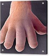 Foetal Hand, Sem Acrylic Print