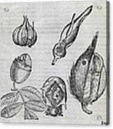 Foetal Plants, 16th Century Artwork Acrylic Print